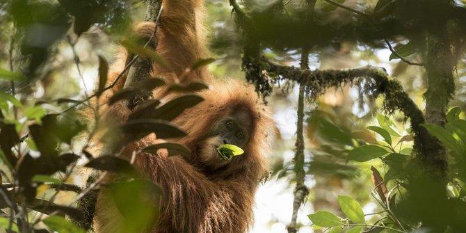 BKSDA Aceh Menyita Orangutan Milik Warga