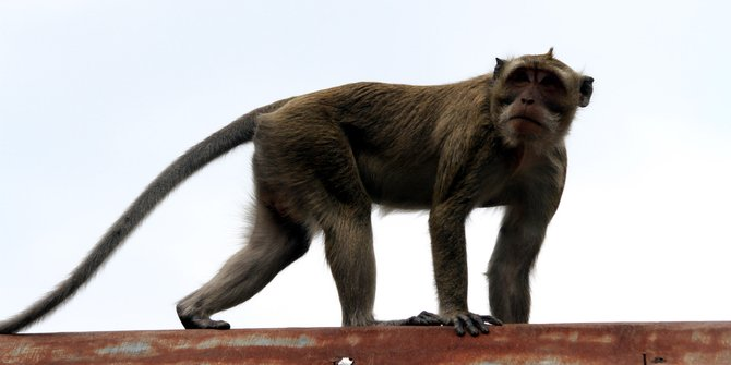 Petugas Keamanan Di Bekasi Diserang Monyet Liar
