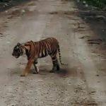 Ada Harimau Mampir Ke Pasar Di Sumatera