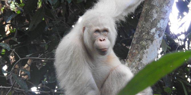 Kondisi Orangutan Albino Langka Di Kalimantan Membaik