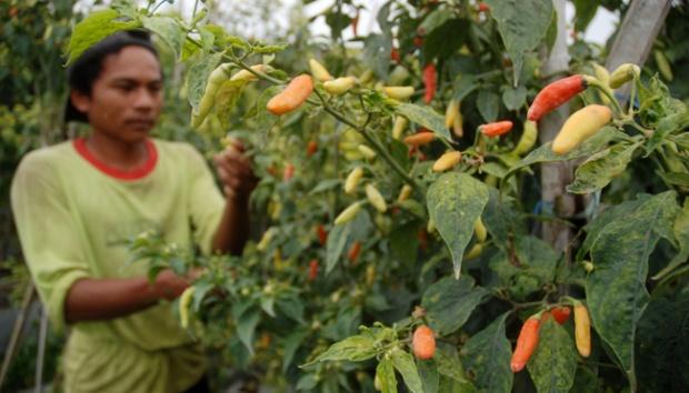 Nilai Tukar Petani Menurun Lantaran Harga yang Turun Drastis